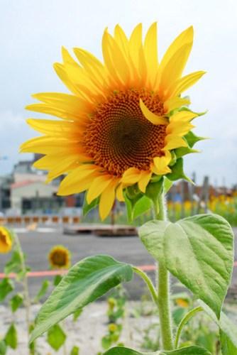 拿 35 f/2 拍看看囉∼透光的花瓣