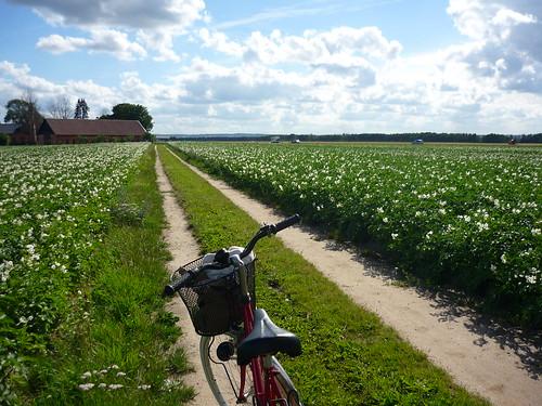 A bike trip in the potato field