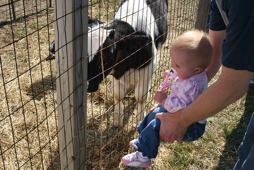 Abby meets a calf