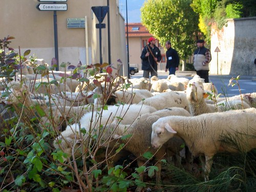 The 400 sheep destroy the citys vegetation.