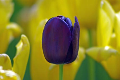 black tulip from istanbul tulip festival