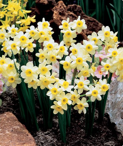 Daffodil 'Minnow' by you.