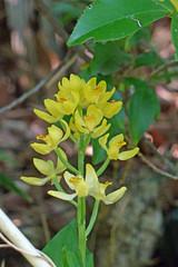 新治市民の森のキンラン(Orchid, Niiharu Community Woods, Yokohama, Kanagawa, Japan, 2011)