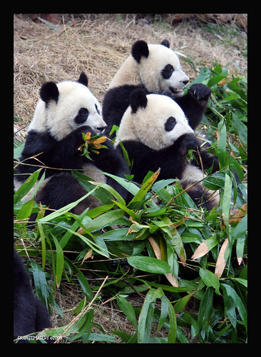 Panda Base, Chengdu China 2/08 ..panda adoption