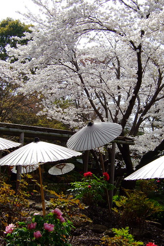 Peonies and sakura