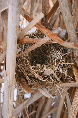 Nest - Common Yellowthroat?