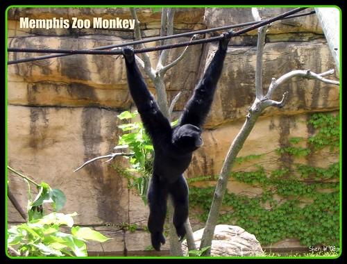 Memphis Zoo monkey