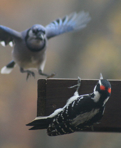 male Hairy Woodpecker and Blue Jay