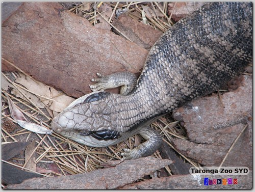 Taronga Zoo - Blue-Tongued Lizard