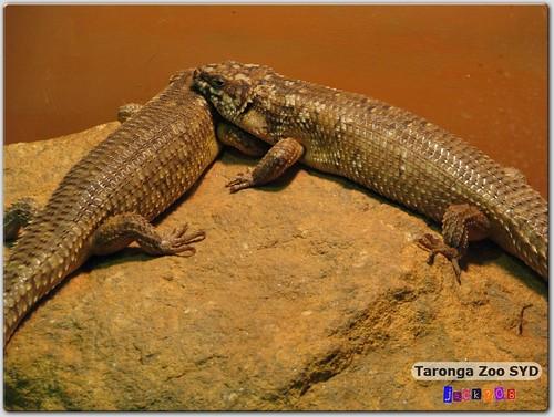 Taronga Zoo - Cunningham's Skink