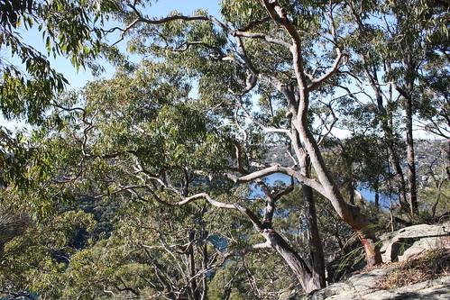 Eucaliptus - gum trees