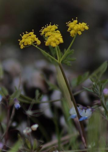 Brandegee's desert-parsley
