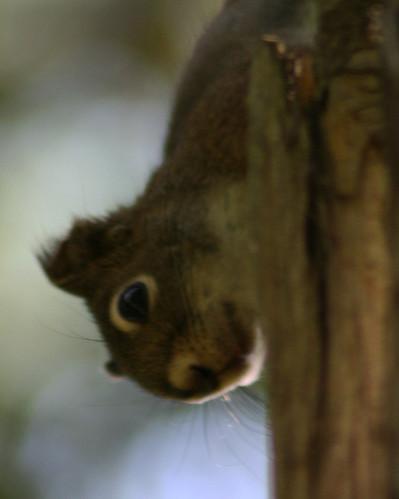Red Squirrel Profile