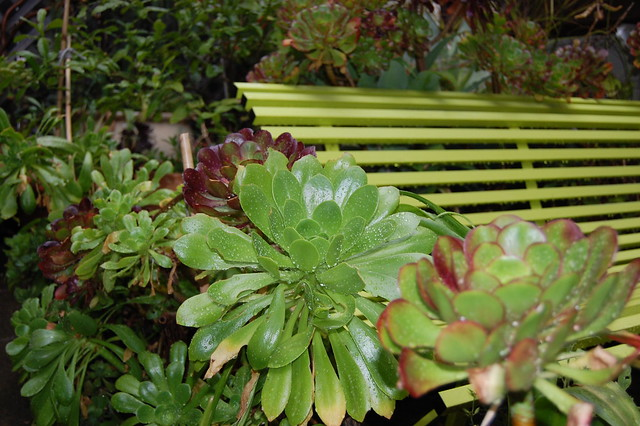 Aeoniums with bench
