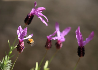 Lavender Attracting Bees