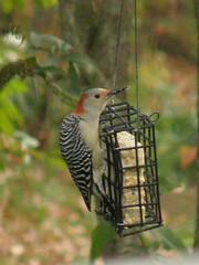 Red-bellied Woodpecker (Melanerpes carolinus) hembra/female