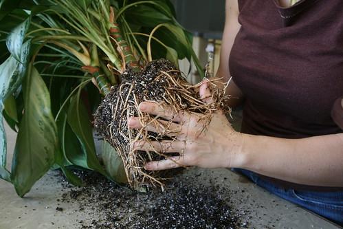Loosen roots