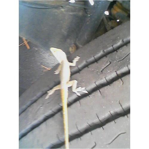 Lizard on Truck Tire