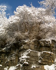 Snowy tree on cliff