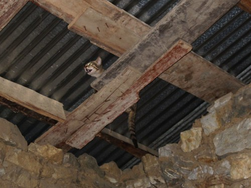 Kitty in the rafters