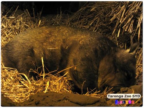 Taronga Zoo - Wombat