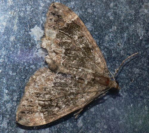 November moth?