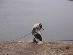 Inuit Dog chained