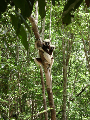 Mommy lemur with baby on its back. Tell me they arent cute!