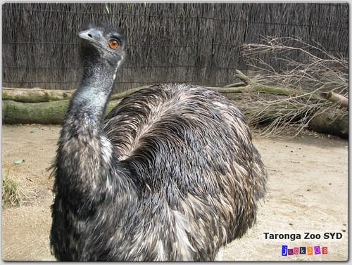 Taronga Zoo - Emu
