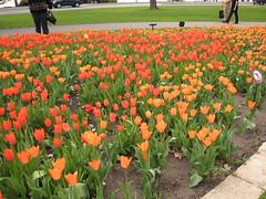 Canadian Tulip Festival - Commissioners Park 6