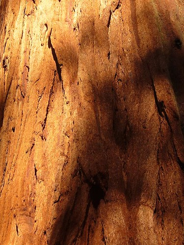 Sequoia bark by you.