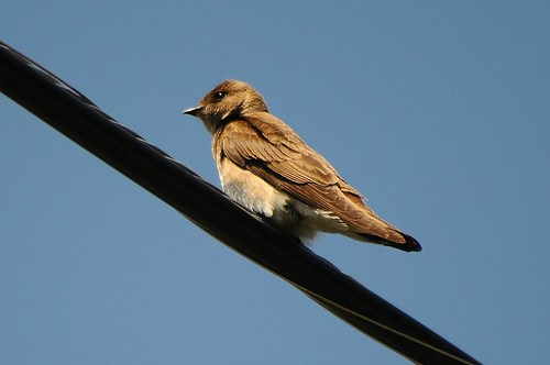 Northern-rough Winged Swallow