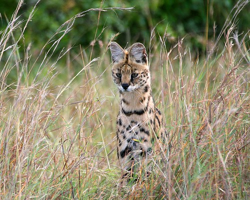 Serval (Leptailurus serval) about to pounce on its prey.