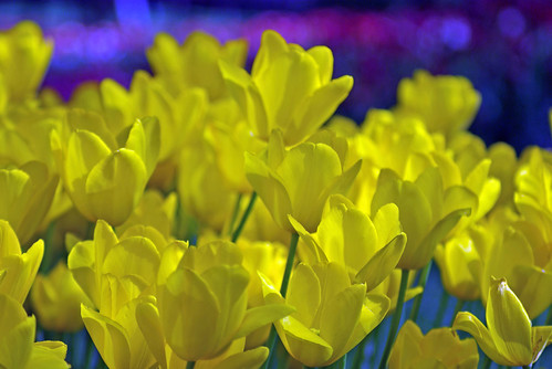 yellow tulips, istanbul tulip festival, pentax k10d, istanbul