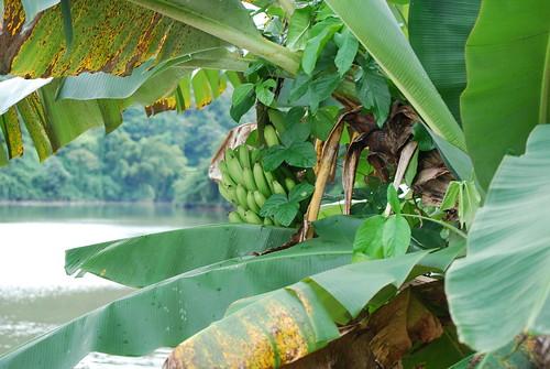 Bananas, Lago Dos Bocas