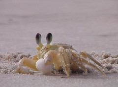 Ocypode quadrata (Atlantic Ghost Crab)