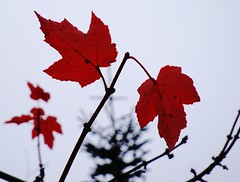 Scarlet Maple against a grey sky
