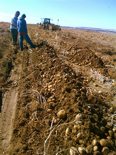 Piles of potatoes in the field