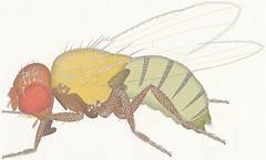 02 Drosophila melanogaster Morphology