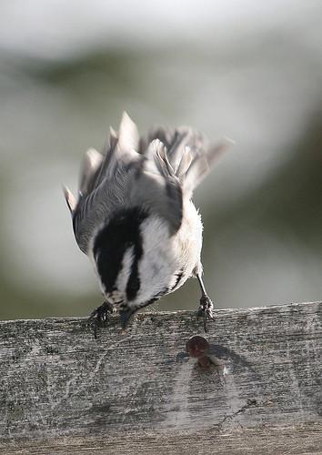 mountian chickadee