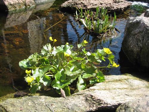 Marsh marigold loves the spring