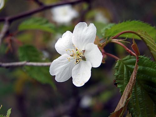 ヤマザクラ(山桜)~笹川流れ
