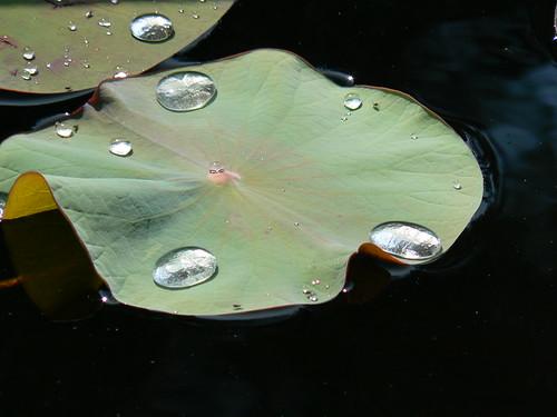 Norfolk Botanical Gardens - Water on Folded Lilypad
