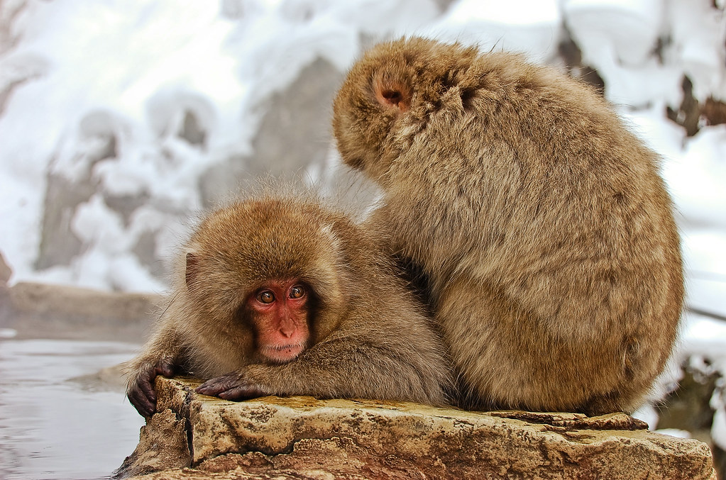 Amber's Snow Monkeys-33