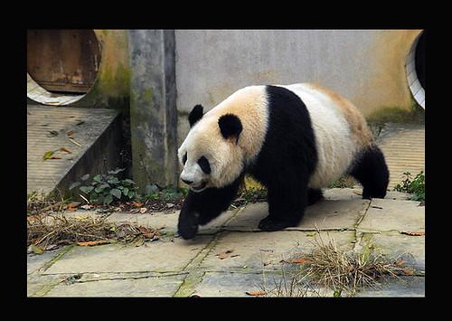 Ying Ying at Bifengxia February 09 /Photo courtesty Pandas International