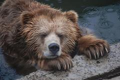 Kodiak Bär im Zoo Riga