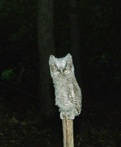 screech owl fledgling 2