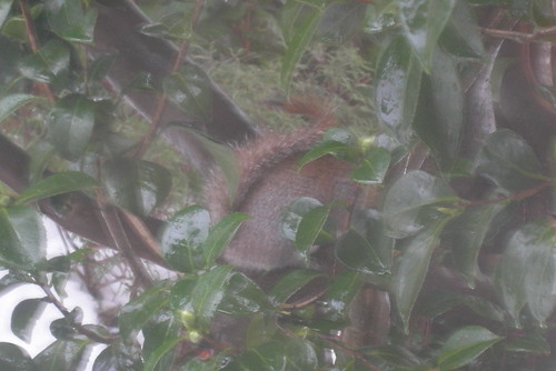 Squirrel huddled in a cammelia