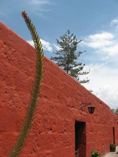 Norfolk Island Pine (?)