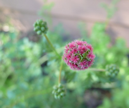 5/30/09 Salad Burnet Flower